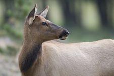 Free Doe Elk Royalty Free Stock Photo - 3932175