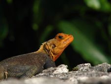 Colorful Lizard Royalty Free Stock Images