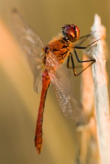 Free Red Dragonfly Royalty Free Stock Images - 3933819