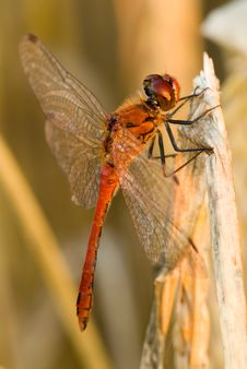 Free Red Dragonfly Stock Image - 3933861