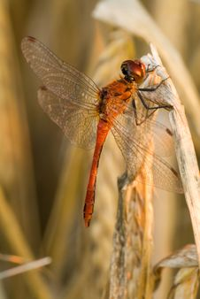 Free Red Dragonfly Royalty Free Stock Images - 3933869