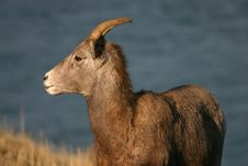 Free Big Horn Sheep. Royalty Free Stock Photo - 3934545