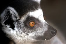 Free A Lemur Reflects Stock Photography - 3934842