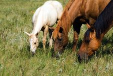 Free Quarter-horse Mares Royalty Free Stock Photos - 3935268