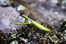 Free Preying Mantis Royalty Free Stock Images - 3935959