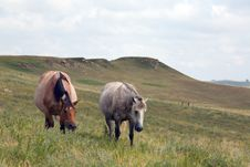 Free Roan And Gray Mares Grazing Royalty Free Stock Image - 3936046
