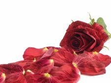 Free Red Rose Stock Photos - 3936083