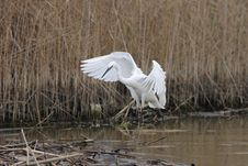 Free Little Egret(Egretta Garzetta) Stock Photos - 3936443