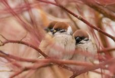 Free Couple Sparrows On Winter Day Stock Image - 3937241