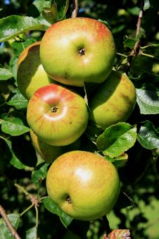 Free Apple (Malus Domestica) Royalty Free Stock Photo - 3937665