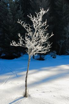 Free Frozen Trees No.4 Royalty Free Stock Photography - 3938757