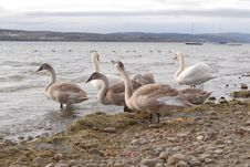 Free Swans Royalty Free Stock Photography - 3939897