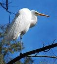 Free Great White Heron Stock Image - 3941771