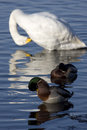 Free Ducks And Swans Preening Royalty Free Stock Image - 3942206