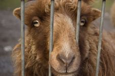 Free Brown Sheep Captured Between Bars Royalty Free Stock Images - 3940029