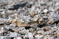 Free Short Horned Lizard Camoflaged Stock Photography - 3941552