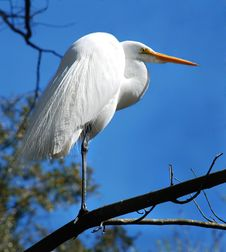 Free Great White Heron Stock Image - 3941771
