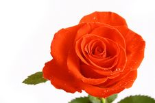 Free Beautiful Red Rose Stock Photos - 3942633