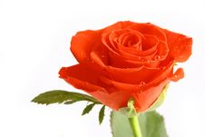 Free Beautiful Red Rose Stock Images - 3942674
