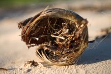 Free Weathered Coconut On Shore Stock Photos - 3942803