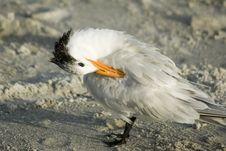 Free Preening Royal Tern Stock Image - 3943561