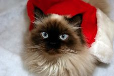 Free Curious Himalayan Royalty Free Stock Photos - 3946108