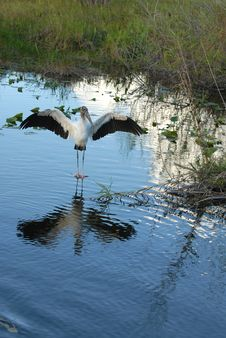 Free Wood Stork Stock Image - 3946941