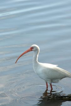 Free White Ibis Royalty Free Stock Image - 3946946