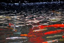 Free Koi Fish Swimming In The Pond Royalty Free Stock Images - 3947279