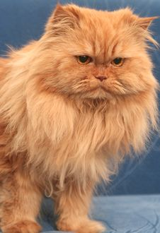 Free Sight Of A Red Fluffy Cat Royalty Free Stock Images - 3947769