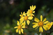 Free Chrysanthemums Royalty Free Stock Images - 3949849