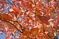Free Red Autumn Leaves Royalty Free Stock Images - 3951389
