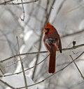 Free Male Northern Cardinal Stock Photo - 3957760