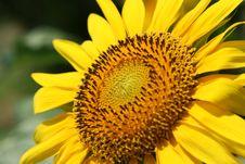 Free Sunflower Royalty Free Stock Image - 3951356