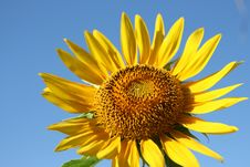 Free Sunflower Stock Images - 3951374