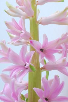 Free Pin Hyacinth Royalty Free Stock Photos - 3951868