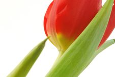 Free Red Tulip Royalty Free Stock Photography - 3952107