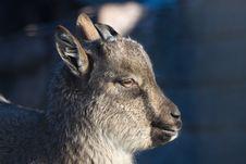 Free Baby Goat Stock Photo - 3952870