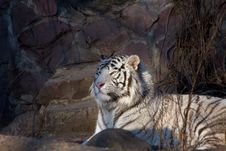 Free Amur Tiger Royalty Free Stock Photography - 3952907