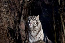Free Amur Tiger Stock Photography - 3952932