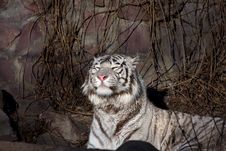 Free Amur Tiger Stock Photography - 3952972