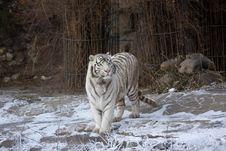 Free Amur Tiger Royalty Free Stock Photo - 3952985