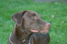 Free Chocolate Labrador Stock Photos - 3953713