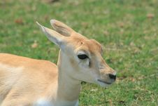 Free Baby Gazelle Royalty Free Stock Photo - 3954285