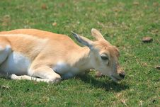 Free Baby Gazelle 2 Stock Photography - 3954292