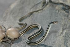 Free Ribbon Snake On The Go Royalty Free Stock Photography - 3954297