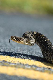 Free Eastern Diamondback Rattlesnake Cruising Royalty Free Stock Images - 3954379