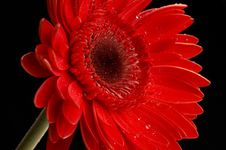 Free Water Drops On Beautiful Red Gerbera, Close Up Royalty Free Stock Photography - 3956697