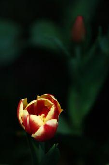 Free Tulip Royalty Free Stock Image - 3958566