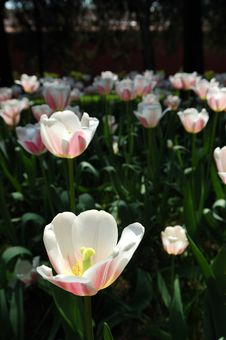Free Tulip Royalty Free Stock Photo - 3958865
